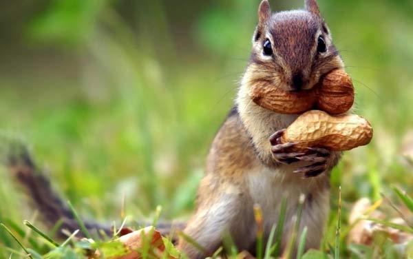 Ajna šesta čakra veverica