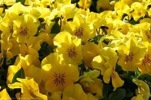 Manipura čakra solarnog pleksusa okružite se žutom bojom