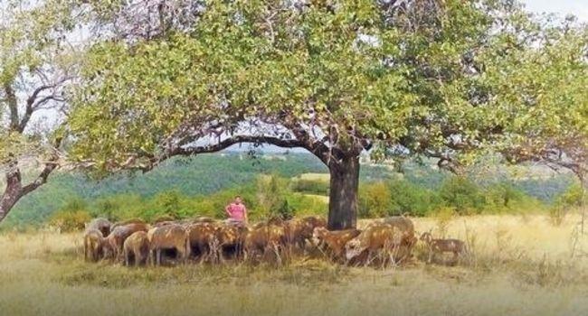 Energetsko polje, stado ovaca