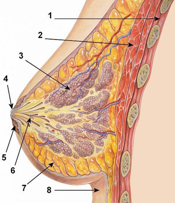 Dojke, anatomija