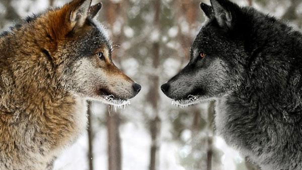 Mržnja dva vuka