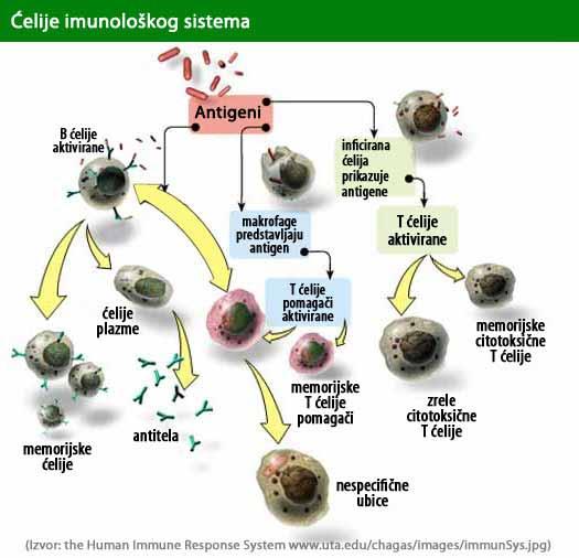 Imunološki sistem