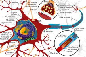 Moždani udar, neuron